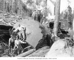 Logging crew yarding a very large log, with donkey engine in background, West Fork Logging...