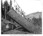 Logging crew yarding a very large log, West Fork Logging Company, Mineral, ca. 1935