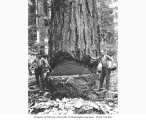 Loggers cutting down a 10 foot wide fir tree, St. Paul and Tacoma Lumber Company camp no. 3,...