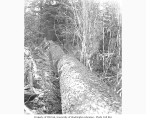 Logger standing beside a felled 100 foot spruce which has been cut into sections, Coats-Fordney...
