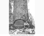 Fallers and large tree, Schafer Brothers Logging Company, Brady, n.d.