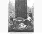Fallers with large tree, Weyerhaeuser Timber Company camp no. 4, Vail, n.d.