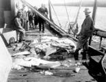 Fishermen and halibut catch on dock, Alaska, n.d.