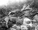 Dead horses, victims of the rush to cross White Pass, Alaska-British Columbia, during the summer...