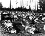 Herd of reindeer from Lapland in Woodland Park, Seattle, en route to Alaska, 1897.