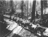 Hauling logs with team of oxen, crossing railroad tracks; location unknown.