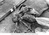 Coconut crab found on Bikini Island, on the deck of the ship RAN-ANNIM, summer 1964