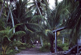 Village scene showing pathway amidst coconut palms, Rongelap Island, August 24, 1964
