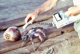 Coconut crab being monitored by geiger counter, Bikini Island, August 18, 1964
