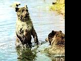 Bears bathing in Kemerovskaya Oblast