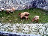 Sheep beside the old fortification wall in Sheki