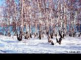 Birch forest in winter on the shore of Lake Baykal.