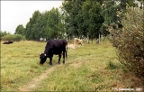 Cows on a  forest clearing near Manturovo