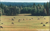 Cattle in a forest clearing in the Komi Republic