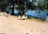 Ducks on a lake shore in Lesogorskiy Rayon