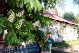 Chestnut tree blooming in the village of Udelnaya