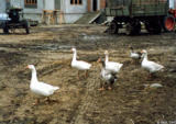 Geese walking through a construction site in Stavropolskiy Kray