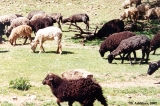 Sheep of Karachay breed grazing near the village of Dzhingirik