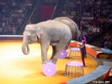 Elephants performing in the Moscow circus