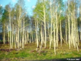 Birch trees seen from a train window on the Trans-Siberian route