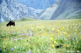 Horse in a wildflower meadow in the Tekes Valley