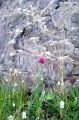 Flower and rock in the Dzhaak Valley on the Kyrgyz-Kazakh border
