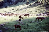 Horses grazing at the Kosh Mainok Pass