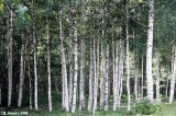 Birch grove in the Soomaa National Park