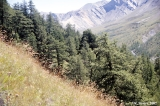 Forest on  the slopes of Tekeliu Valley, Altai Mountains