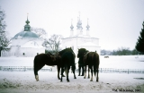 Horses for tourists to ride in Suzdal