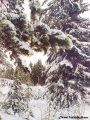 Fir trees covered with snow in the Komi Repiblic