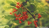 Bunch of currants in the Komi Republic