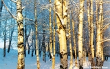 Birch forest in the Komi Republic
