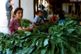 Young woman stringing tobacco in Sahvron