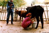 Filming the milking of a cow in Sahvron