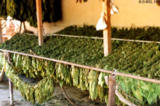 Drying tobacco in Sahvron