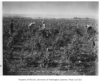 Tomato farm showing vines and pickers, September 25, 1934