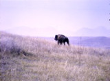 National Bison Roundup, Moiese, MO, 10/11-10/13/64