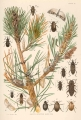 Insects Affecting Hard Pine : 1. Pitch mass of pitch twig moth Retinia constockiana Fern., with...