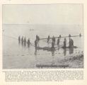 Largest seine in the world, This seine, operated for shad and alewives at Stony Point, Virginia,...