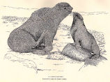 A Rookery [Fur Seal] Courtship