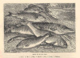 Group of Thames Fish1, Perch; 2, Chub; 3, Pike; 4, Barbel; 5, Eel; 6, Trout; 7, Gudgeon