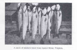 Catch of Rainbow Trout from Laurel River, Virginia
