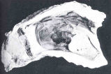 Photograph of Oyster Shwoing the Turbellarian Worm Known as the Wafer or 'Leech'The Worm has...