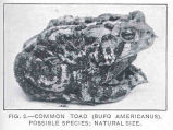 Common Toad (Bufo Americanus). Possible Species
