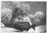 Leather Jacket (Atypichthys latus). Striped with black and yellow, and swimming rapidly in small...