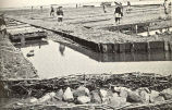Oyster-Culture at Arcachon : ... Work in an Oyster Parc at Low Tide