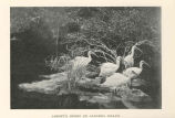Abbott's Ibises on Aldabra Island