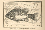 Common Sunfish