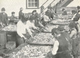 Dressing Herring for Sardines in Maine